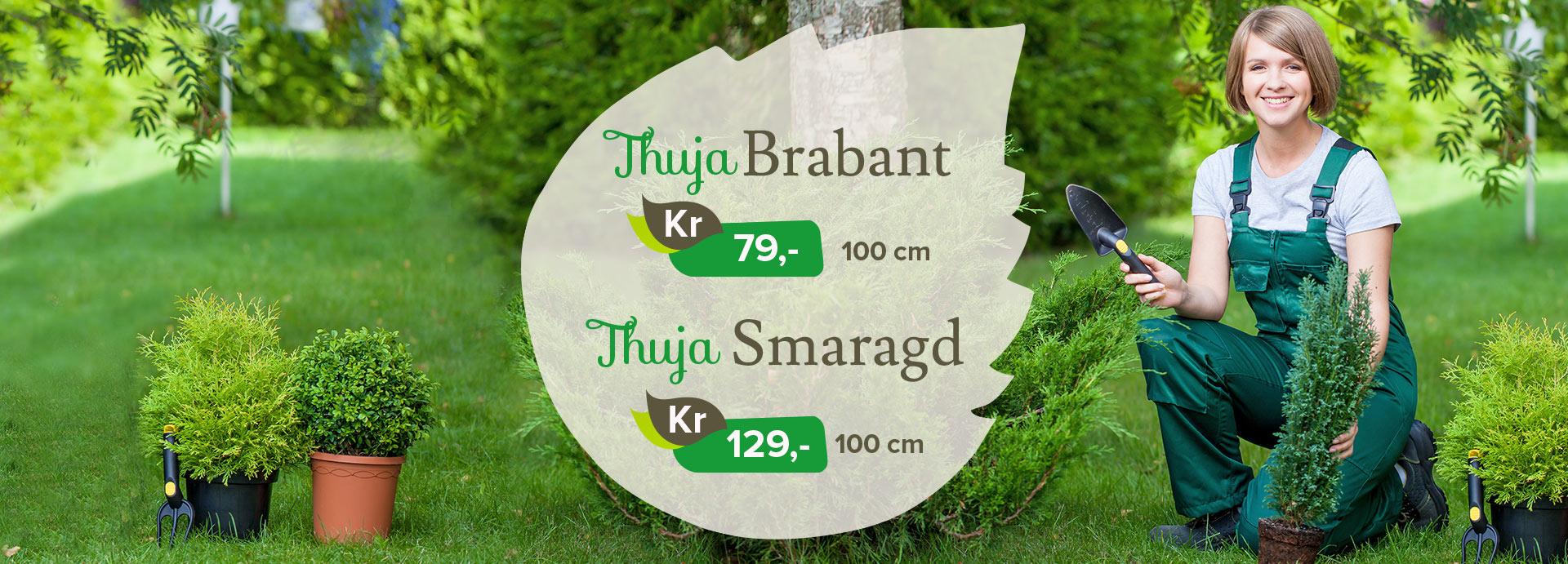 Thuja Brabant og Thuja Smaragd på tilbud hos Lier Planteland